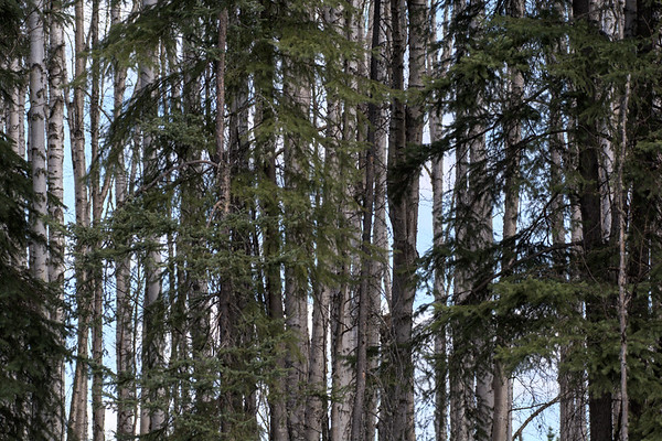 Spruce and Birch