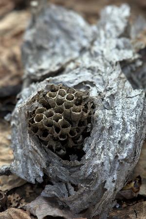 Yellowjacket Nest