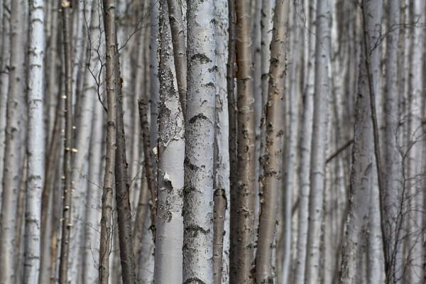 Dense Birch