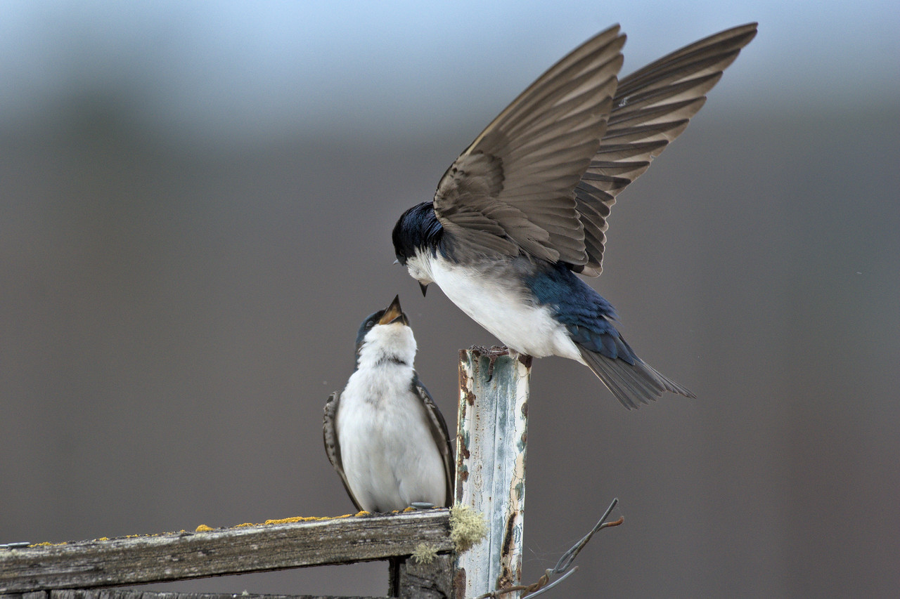 A mating pair of tree swallows on a nesting box at Creamer's Field