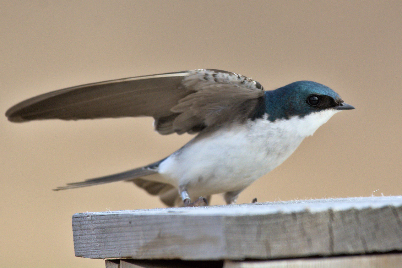 Tree swallow spreading its wings