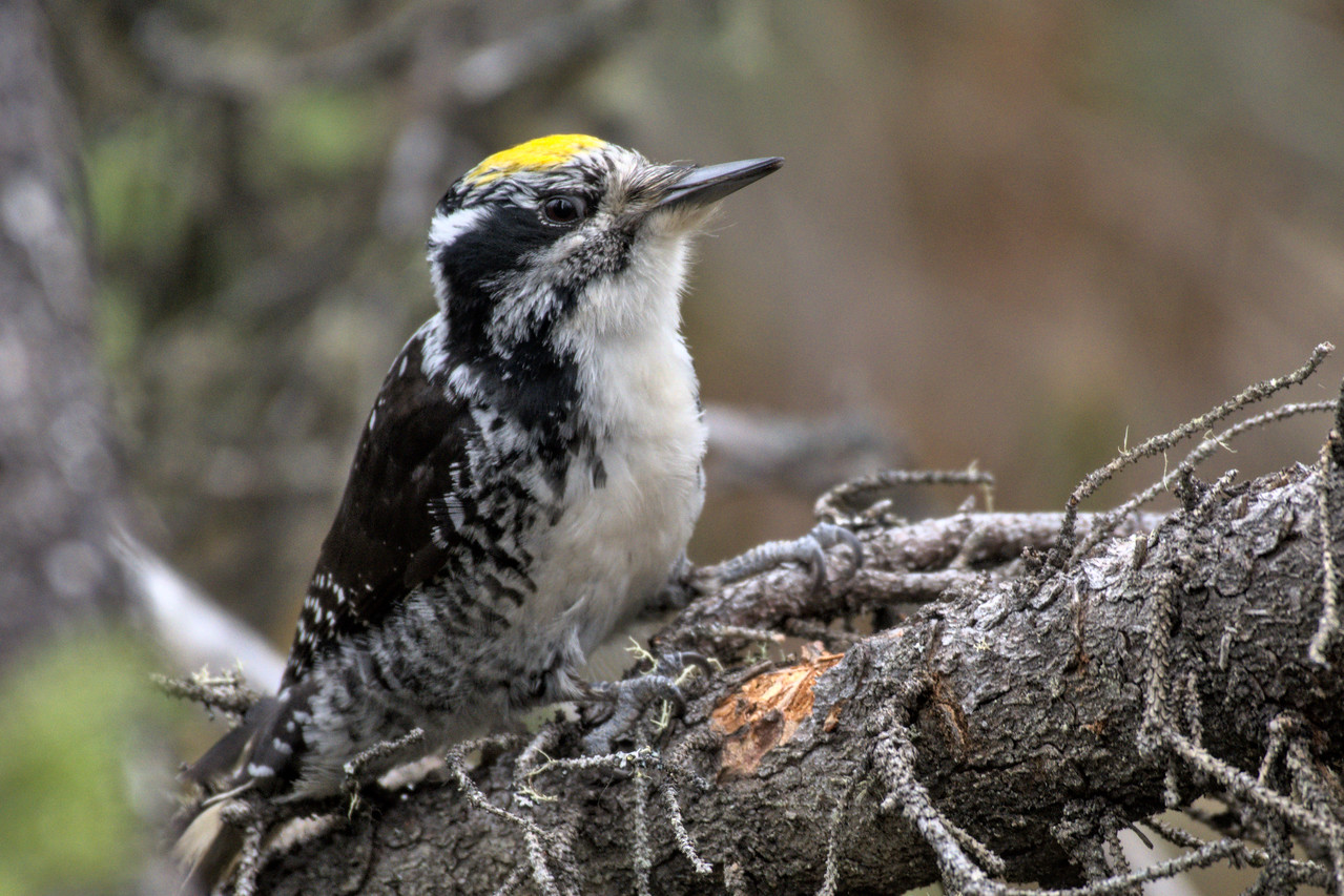 Three-toed woodpecker at Smith Lake