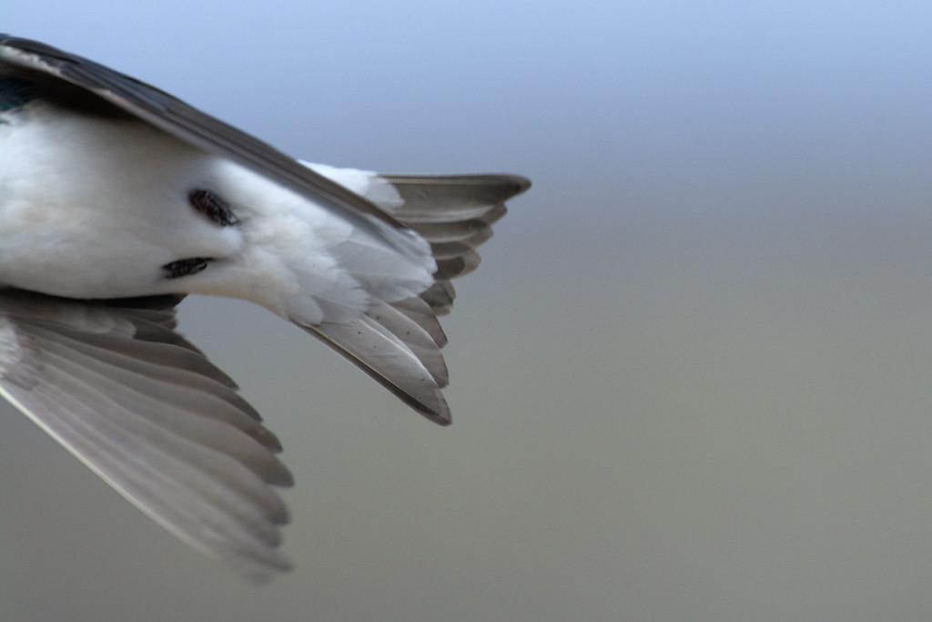 tail of a tree swallow in flight
