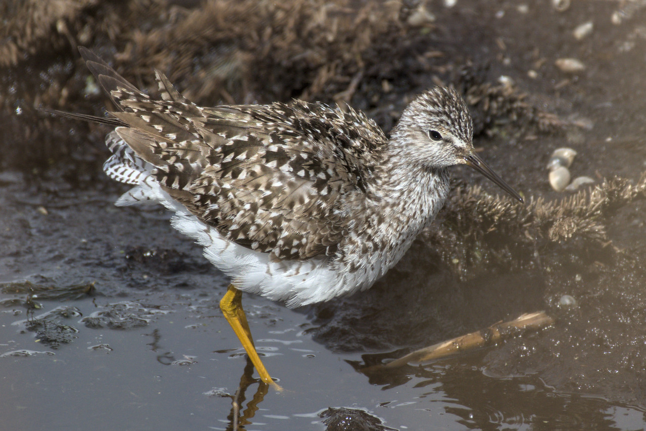 A ruffled lesser yellowlegs at Peat Ponds