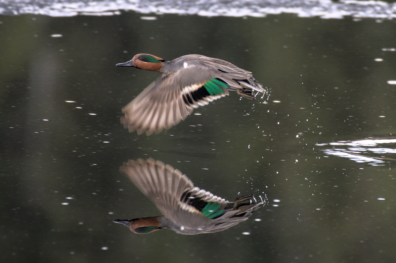 Green-winged teal taking flight over Peat Ponds