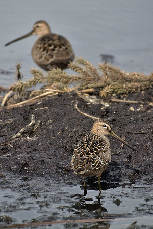 Longbilled dowitcher