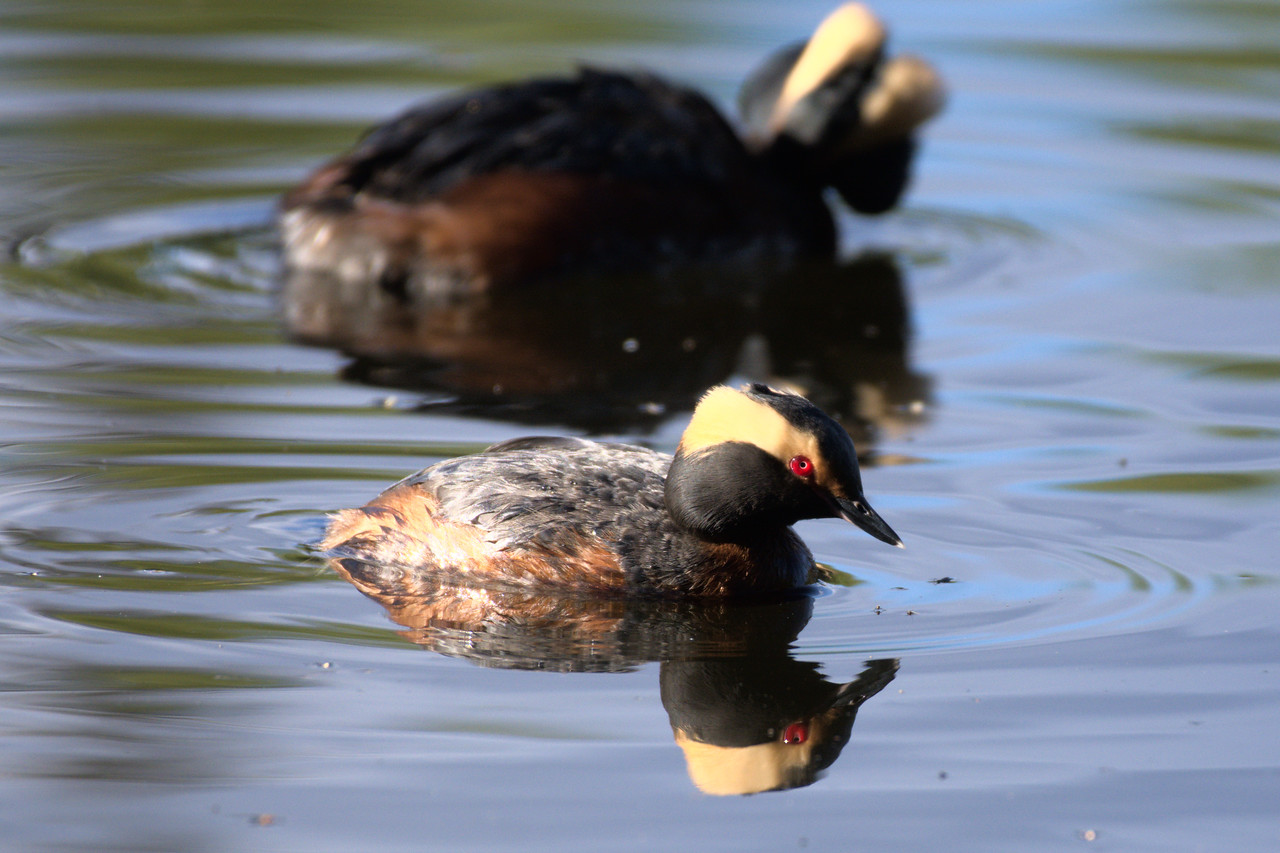 Female and male horned grebes in the Chena River State Recreation Area
