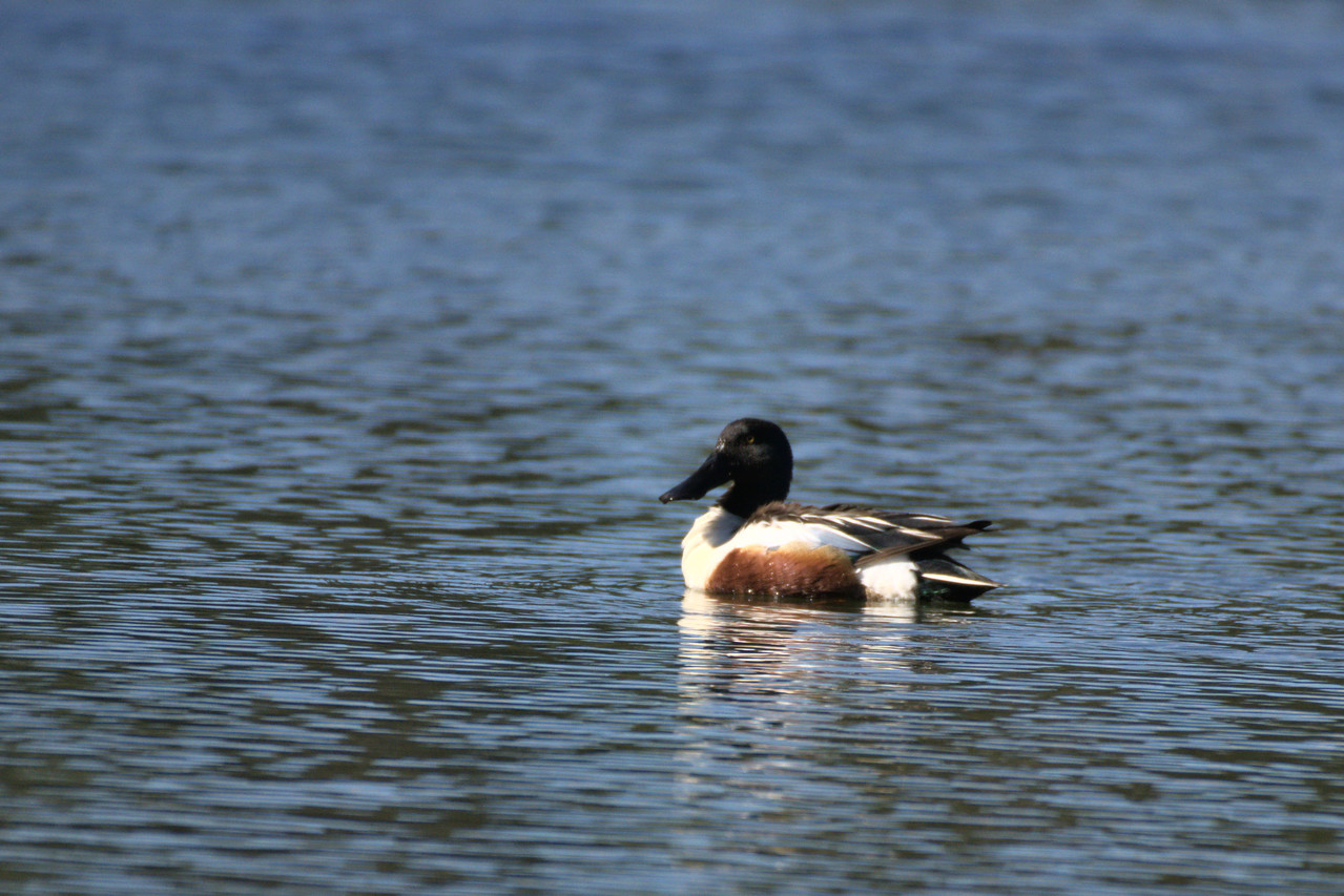 Male northern shoveler in one of the ponds along Chena Hot Springs Road.