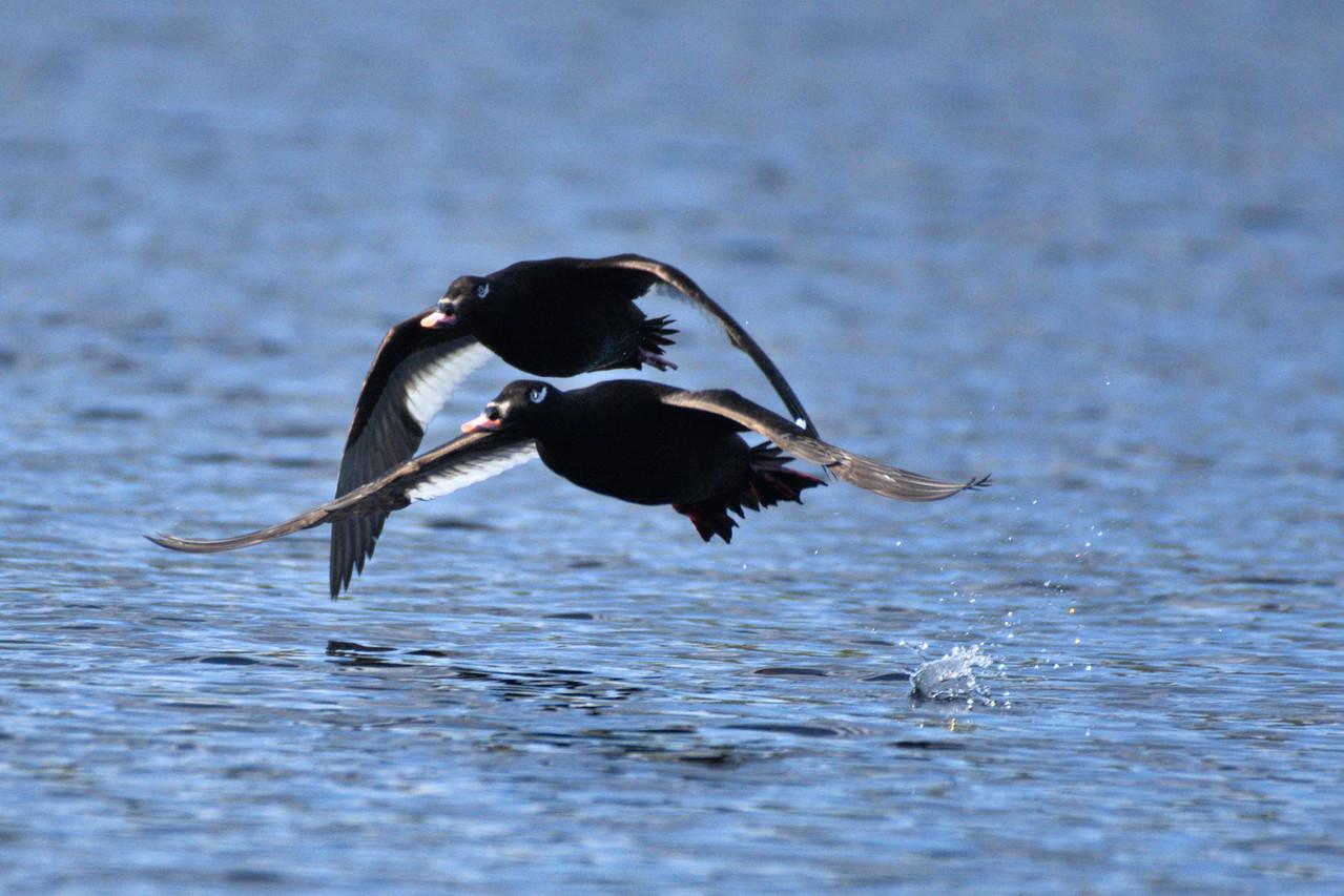 White-winged scoters at Smith Lake