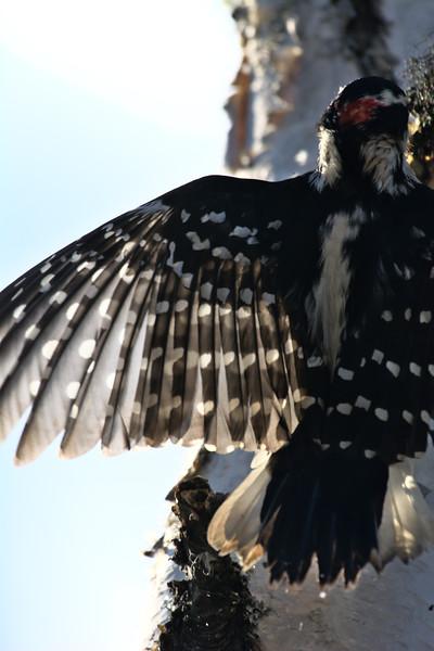 Gorgeous wing pattern - Hairy woodpecker