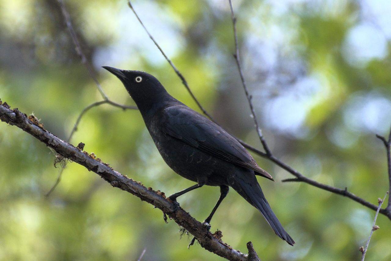 Rusty blackbird along the Boreal Trail at Creamer's Field