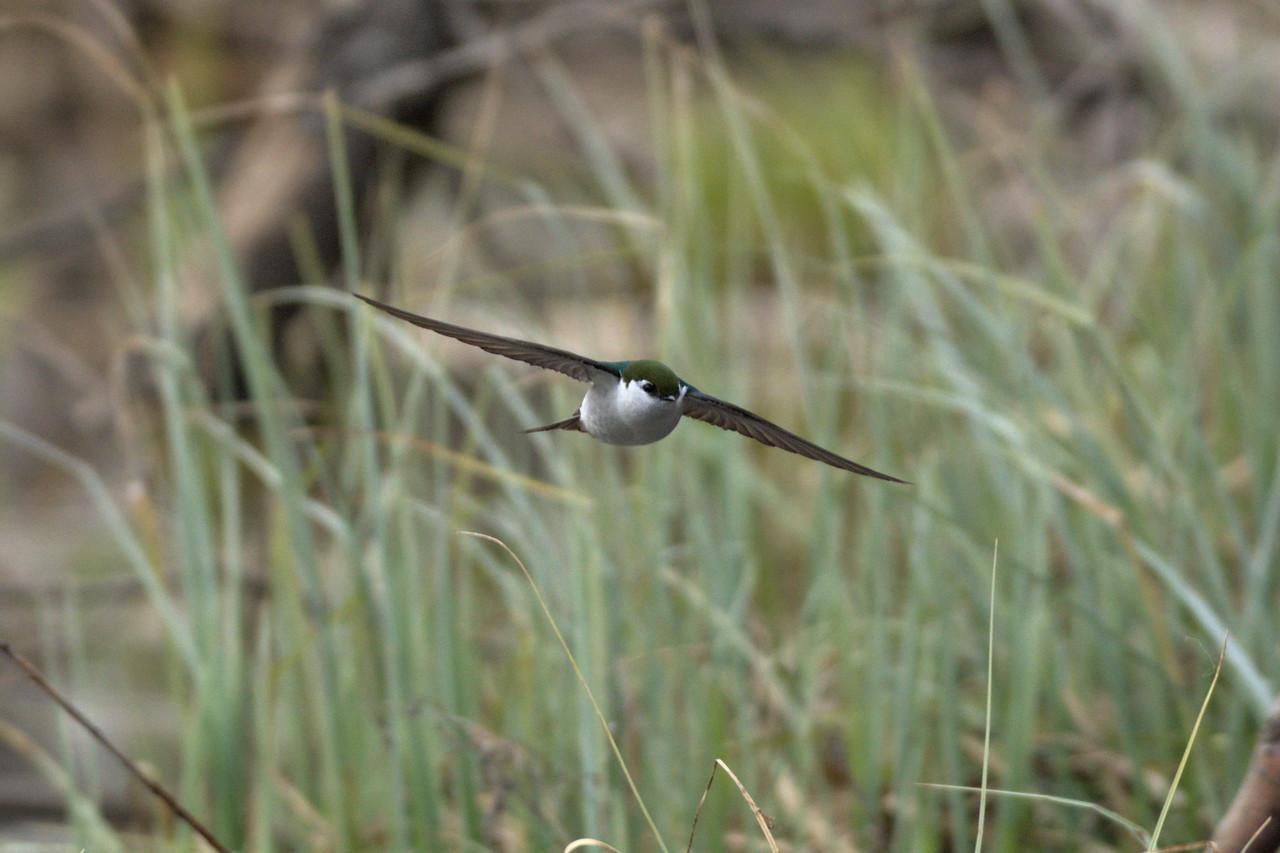 Violet-green swallow in flight