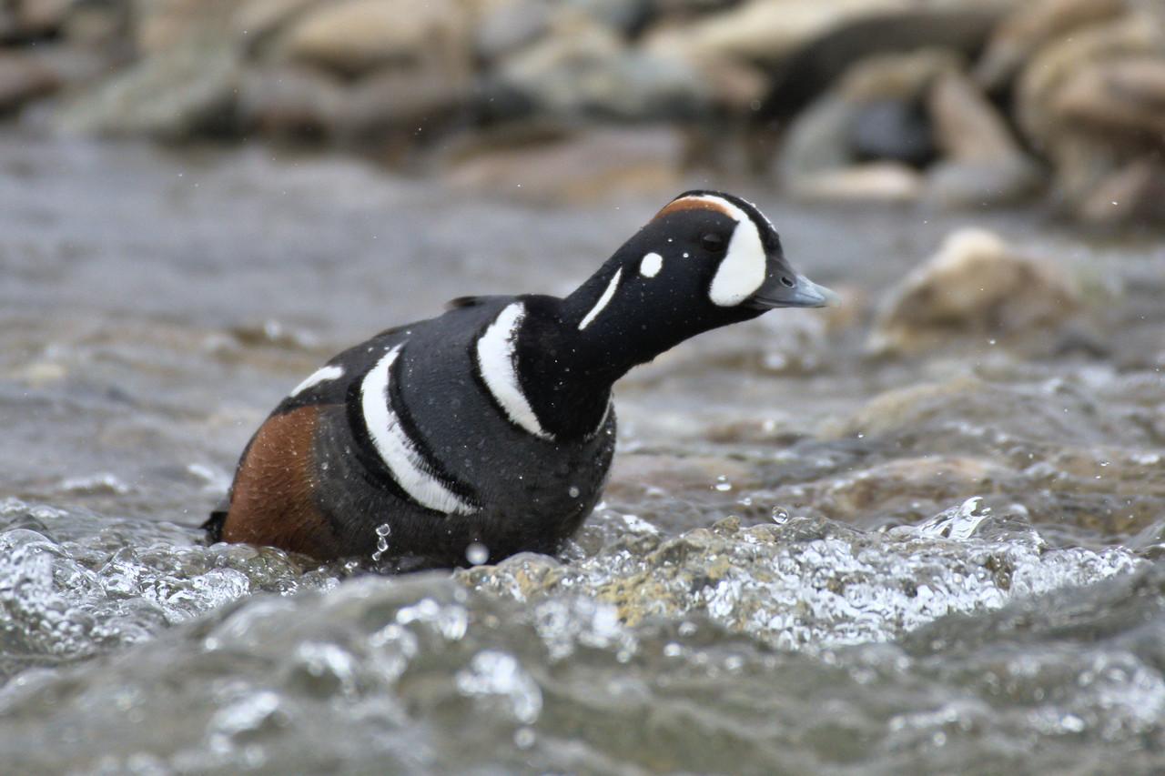 Harlequin duck pushing his way upstream