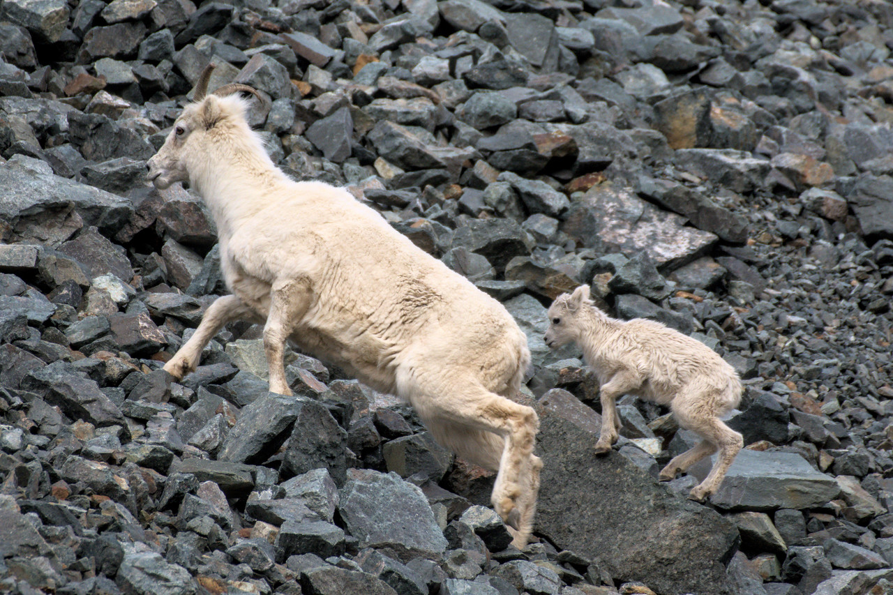 Dall sheep with lamb in Red Rock Canyon in the Alaska Range. The May wildlife photo in my 2022 Alaska wall calendar.