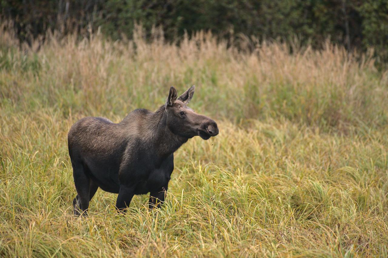 Cow moose in Potter Marsh along Turnagain Arm