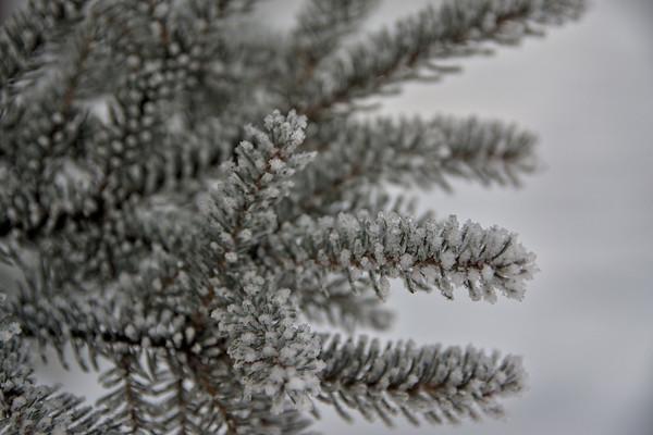 Hoarfrost Spruce