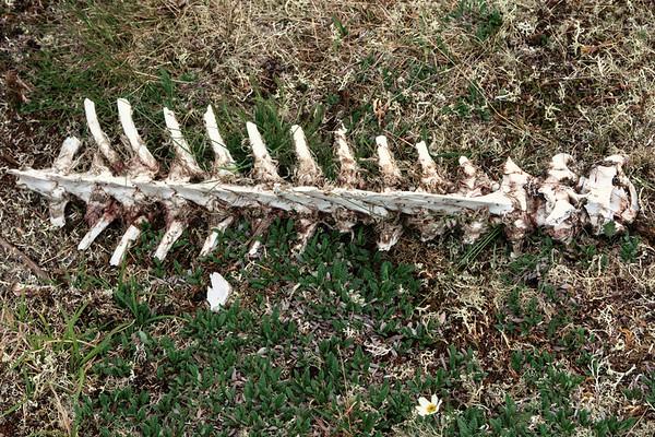 Caribou Spine