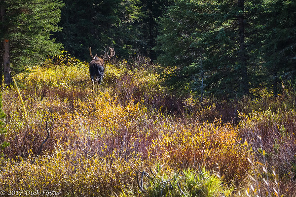 Moose in Lamar Valley