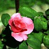 IMG_4692_STURGEON MEMORIAL ROSE GARDEN 050811