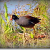 "Common Moorhen   <a href=""http://www.PhotosRUs2008.com"">http://www.PhotosRUs2008.com</a>   Bob Lester   All rights reserved"