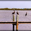 Brown Pelicans , Anhingas ...Anna Maria Island Bridge,Holmes Beach,Fl...©2014  RobertLesterPhotography.com