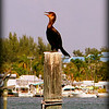 Cormorant...Cortez Bridge over Sarasota Pass...Bradenton Beach,F...©2014 RobertLesterPhotography.com