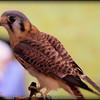 2016-02-06_P2066511_American Kestral Falcon,Raptor Fest,St Pete,Fl