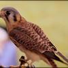 2016-02-06_American Kestrel Falcon,Raptor Fest,St Pete,Fl
