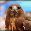 2016-02-06_P2066457_Hawk,Raptor Fest,St Pete,Fl