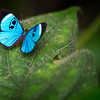 Sky Blue Eye Mark Butterfly