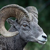 Rocky Mountain Bighorn Ram up close