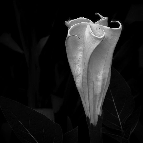 Datura Cycle:  Blossom Unfurling 1