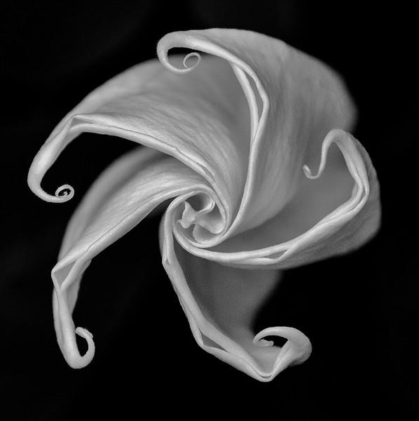Datura Cycle:  Blossom Unfurling 2