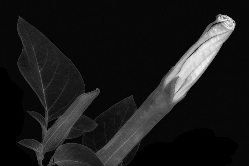 Datura Cycle:  Buds
