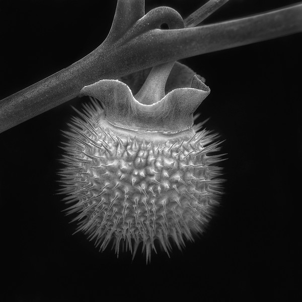 Datura Cycle:  Thorn Apple