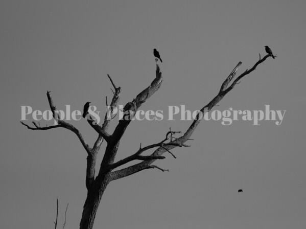 BlackBirds-3inTree