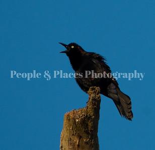 BlackBird=DIsle-2