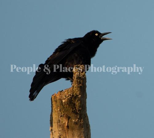BlackBird-DIsle-1
