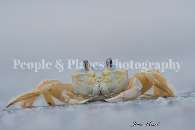 Crab-Yellow-DauphinMay30-19