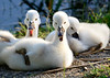three baby swans