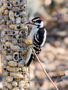 "Title:  ""Downy Woodpecker - Male"" Watermark will not print on your order"