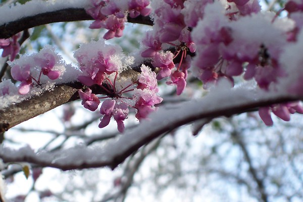 """Title: """"Snow On The Red Bud""""  Place: Goochland, Va     You can Click """"Buy"""" To Order On Line:  Prints, Framed, Canvas, and many other items.    You can email me to order  NoteCards and BookMarks   Email Your Order:  ArtGalleryRiverRd@gmail.com    All Photos Available In Beautiful 5x7 NoteCards $3.95ea 2nd Card Same Print $2.95ea  Five Cards Mix Or Match $2.95ea         All Photos available in wallet size laminated BookMarks $3.95ea Order 2 or more for $2.95ea (These make a nice favor or Mother's Day Gift)      If you have a special order or size in mind just email me and I will do my best to work with you."""