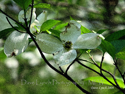 "Title: ""Dogwood Water Color 3""  Place: Goochland, Va     You can Click ""Buy"" To Order On Line:  Prints, Framed, Canvas, and many other items.    You can email me to order  NoteCards and BookMarks   Email Your Order:  ArtGalleryRiverRd@gmail.com    All Photos Available In Beautiful 5x7 NoteCards $3.95ea 2nd Card Same Print $2.95ea  Five Cards Mix Or Match $2.95ea         All Photos available in wallet size laminated BookMarks $3.95ea Order 2 or more for $2.95ea (These make a nice favor or Mother's Day Gift)      If you have a special order or size in mind just email me and I will do my best to work with you."