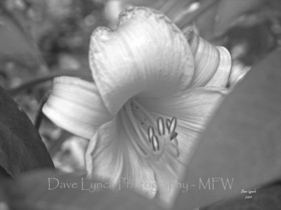 "Title: ""Day Lily - Gausian Blur - Black and White""  Place: Goochland, Va     You can Click ""Buy"" To Order On Line:  Prints, Framed, Canvas, and many other items.    You can email me to order  NoteCards and BookMarks   Email Your Order:  ArtGalleryRiverRd@gmail.com    All Photos Available In Beautiful 5x7 NoteCards $3.95ea 2nd Card Same Print $2.95ea  Five Cards Mix Or Match $2.95ea         All Photos available in wallet size laminated BookMarks $3.95ea Order 2 or more for $2.95ea (These make a nice favor or Mother's Day Gift)      If you have a special order or size in mind just email me and I will do my best to work with you."
