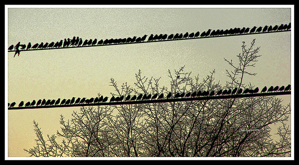 "Title: ""Birds On A Wire""   Place: Stuarts Draft, VA  Click ""Buy"" To order Prints, Canvas, Framed Prints, T Shirts etc. online  Watermark will not print on your order  All Photos Available In 5x7 NoteCards $3.95ea 10/$2.95ea http://www.etsy.com/listing/71810088/note-cards-5x7-choose-any-photo-or-paper?show_panel=true  Have a special size or request? Email Me and I will do my best to work with you: ArtGalleryRiverRd@gmail.com"