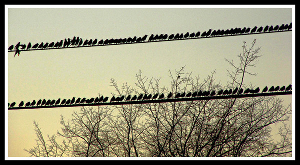 "Title: ""Birds On A Wire II""   Place: Stuarts Draft, VA  Click ""Buy"" To order Prints, Canvas, Framed Prints, T Shirts etc. online  Watermark will not print on your order  All Photos Available In 5x7 NoteCards $3.95ea 10/$2.95ea http://www.etsy.com/listing/71810088/note-cards-5x7-choose-any-photo-or-paper?show_panel=true  Have a special size or request? Email Me and I will do my best to work with you: ArtGalleryRiverRd@gmail.com"