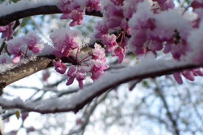 "Title:  ""April Snow On The Redbud""  Watermark will not print on your order"