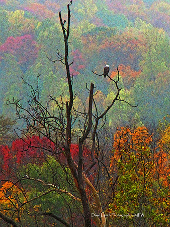 "Title: Autumn Eagle Place: Syria, VA  This was our view in October 2011 while staying at  the ""Pond View Cabin"" at http://roseriverfarm.com/ We had Fly Fished at the Farm on Friday but on Saturday  we awoke to a winter mix of snow and rain. This eagle was perched in a dead tree looking for a breakfast of trout.  Click ""Buy"" For Prints - Framed - Many Other Items  Want this as a beautiful Note Card? http://www.etsy.com/listing/71810088/note-cards-5x7-choose-any-photo-or-paper"