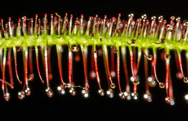 Sundew (carnivorous plant)-TSA (2)
