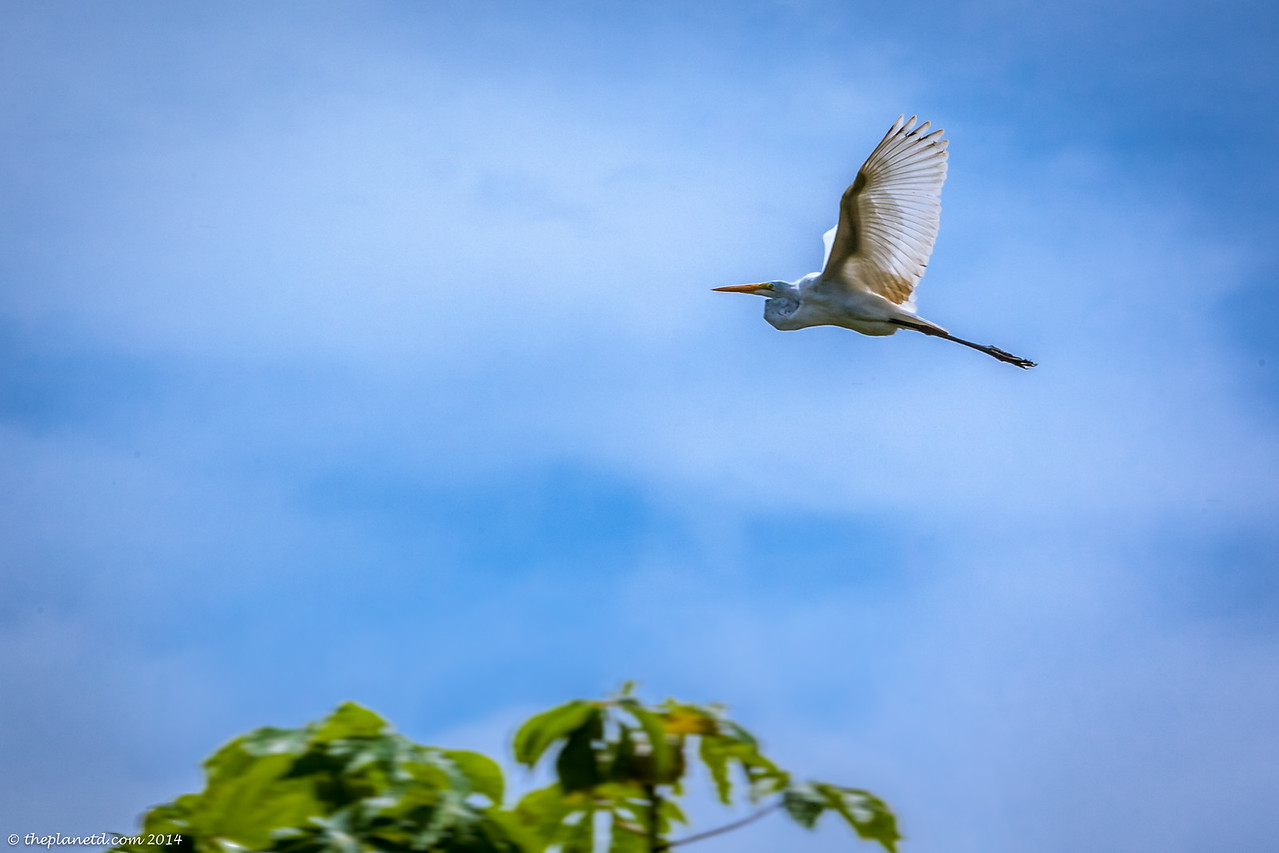 An Egret flies high above the Amazon international expeditions